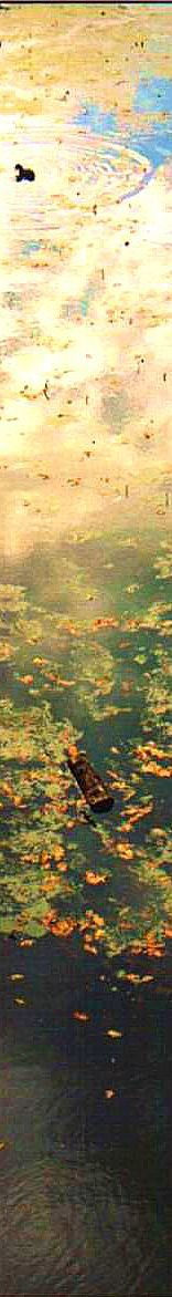 Lily pond with coots.jpg (170825 bytes)